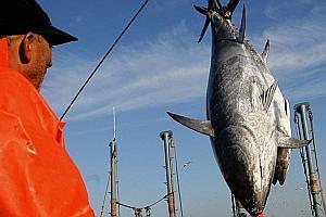 Interdiction de la pêche au thon rouge en Méditerranée