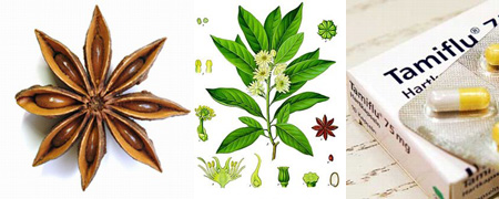 Le Shikimi (Badiane Japonaise) / fruit du diable à l'origine du Tamiflu