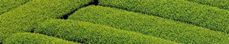 Plantattion de thés verts au Japon