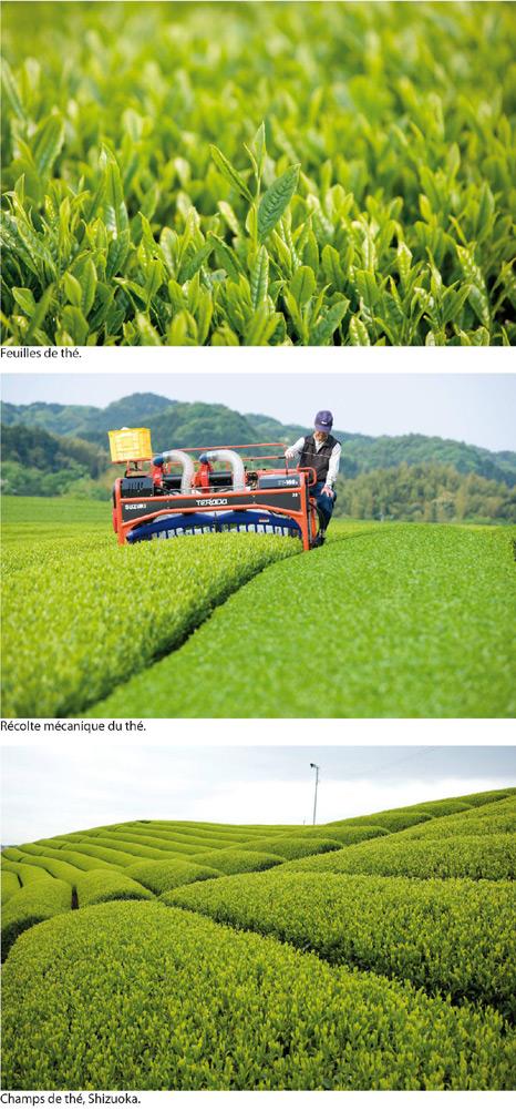 Les thés verts du Japon