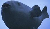 Fugu - Un Poisson mortel (Arte.tv)